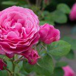 薔薇の花の形とソープカービング